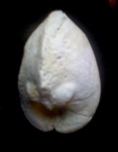 Vulva Fossil
